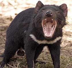 http://epitre.net/dotclear/images/Tasmanian_devil.jpg